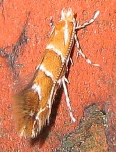 Szrotówek kasztanowcowiaczek. Źródło: wikipedia