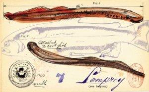"""Skradzione z <a href=""""http://palaeoblog.blogspot.com/2006/02/lampreys-hold-key-to-vertebrate.html"""">Paleobloga</a>"""