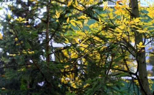 Liściaste i iglaki: dwie ewolucyjne strategie na jesień