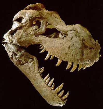 Dziury w tylnej części żuchwy tego tyranozaura to zmiany chorobowe charakterystyczne dla trychomonadozy u ptaków.
