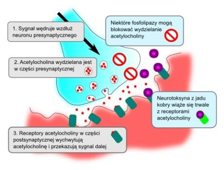 synapse-njm